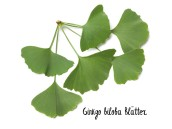 Preview: Ginkgo biloba leaves